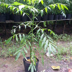 Giống cây Cóc Thái